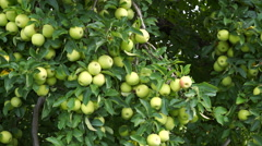 Golden Delicious tree with tons of apples ready to be picked Stock Footage