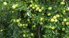Pan across Golden Delicious Tree filled with apples ready to be picked Stock Footage