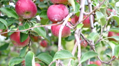 Tight shot of Red Jonathan Apples ready for harvest Stock Footage