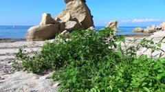 Green tomato plant on a wild beach Stock Footage