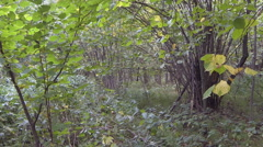 Thickets of hazel Stock Footage