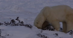 Side view polar bear digging and licking frozen kelp bed Stock Footage