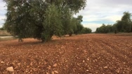 Olive branch at sunlight in an olive tree plantation, Jaen, Spain Stock Footage