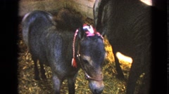1963: cute miniature ponies WALWORTH, WISCONSIN Stock Footage