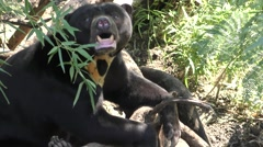 Asian Sun Bear Sleeping and Resting on Hot Day in Forest Stock Footage