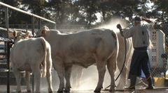 Cattleman Cleaning Cows Stock Footage