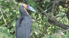 African Southern Ground Hornbill Bill Grooming Stock Footage