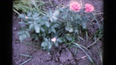1960: a flowering plant in the ground with two pink flowers WAUCONDA, ILLINOIS Stock Footage