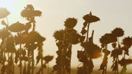 Several ripe sunflowers at sunset. Ready for harvesting Stock Footage