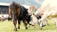 Traditional cattle procession struggling cows Stock Footage