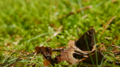 Meadow brown Butterfly resting on the shriveled leaf Stock Footage