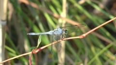 Blue Dragonfly Insect in Marsh at Mackay National Wildlife Refuge Stock Footage