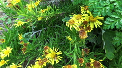 Wild yellow flowers and a bee Stock Footage