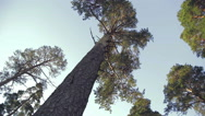 Tall trees, view from below Stock Footage
