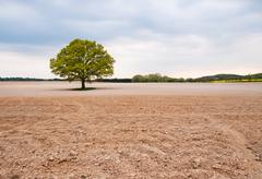 Solitary big oak tree in the middle of field Stock Photos