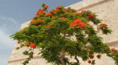 Tree of delonix regia, Malta, Valletta Stock Footage
