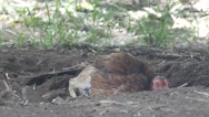 Chicken dig and lay in the ground Stock Footage