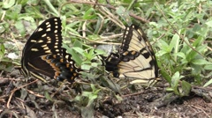 Swallowtail Butterflies Feeding on Minerals in Soil Dirt in Great Dismal Swamp Stock Footage