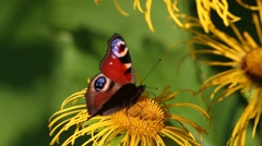 Butterfly European Peacock (Aglais io) is on a Elecampane flower Stock Footage