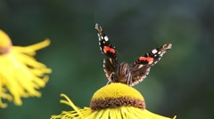 Red Admiral butterfly collects nectar on the Elecampane flower Stock Footage