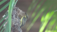Olive-backed sunbird behavior in front of the nest entrance Stock Footage