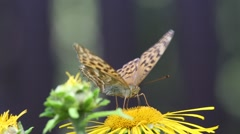 Butterflys Dark Green Fritillary  and Red Admiral Stock Footage