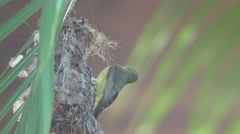 Olive-backed sunbird leaving the nest Stock Footage