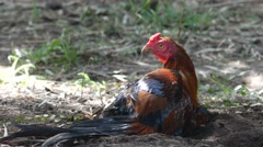 Fighting cock lay on the ground Stock Footage