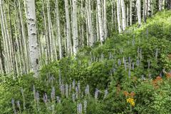 Lush Hillside of Aspens and Lupine Stock Photos