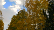 Clouds move over bright golden aspen trees Stock Footage