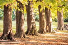 Tree trunks row autumn park Stock Photos