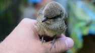 Whitethroat fledgeling sitting on human hand outdoors Stock Footage