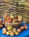 Fresh apples in the garden Stock Photos