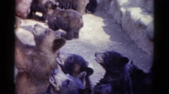 1959: orphaned baby cubs curious about zoo visitors CATSKILL GAME FARM, NEW YORK Stock Footage