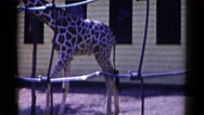 1959: baby giraffe playing happily at the zoo CATSKILL GAME FARM, NEW YORK Stock Footage