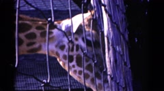1959: a giraffe in a zoo trying to smell something CATSKILL GAME FARM, NEW YORK Stock Footage