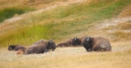 Herd of Wild Buffalo in Yellowstone National Park Stock Footage