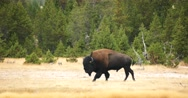 Wild Bison / Buffalo in Yellowstone National Park (Tracking Shot) Stock Footage