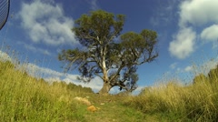 Wide Angle Eucalyptus Tree Blue Sky and Clouds in Australia Stock Footage
