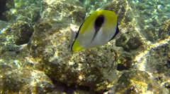 Beautiful Marine Butterflyfish in Hawaii Coral Reef Tropical Ocean Stock Footage