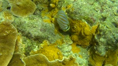 Colorful Ornate Butterfly Fish Underwater by Coral Reefs in Hawaii Stock Footage