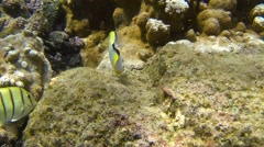 Teardrop Butterflyfish in Hawaii Coral Reef Tropical Ocean Stock Footage