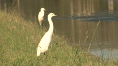 White Snowy Egret Birds at Mackay National Wildlife Refuge in Virginia Stock Footage
