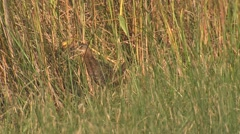 Rare King Rail Marsh Bird in Virginia at National Wildlife Refuge Stock Footage