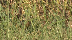 King Rail Marsh Bird in Tall Grass in Wildlife Refuge in Virginia Stock Footage