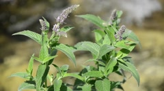 Mentha, mint with water on background Stock Footage