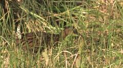 Virginia King Rail in Wetland Marsh Mackay National Wildlife Refuge Stock Footage