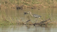 Great Blue Heron Bird in Chesapeake Bay Marsh in Virginia Stock Footage