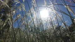 Close up shot of grass swaying gently in the wind against the sky Stock Footage