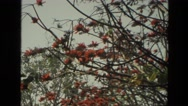 1974: tree branches hanging over pedestrians on a city sidewalk. INDIA Stock Footage